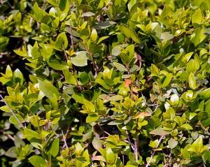 Myrtle tree, leaves