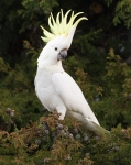 Cockatoo, crest displaye